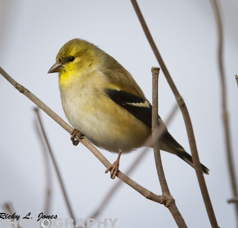 Goldfinch in Winter coat  © Copyright Ricky L.Jones Photography 1995-2013 All rights reserved.