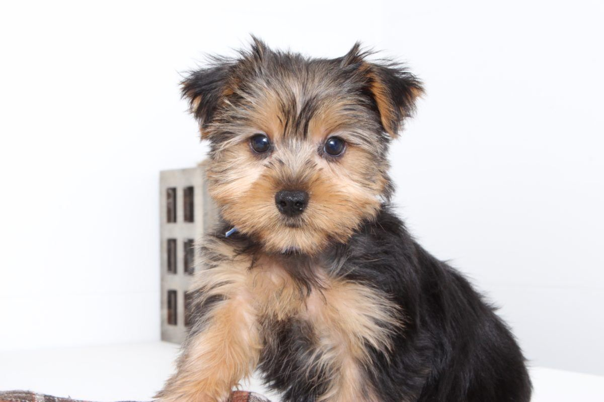 Puppies for sale in florida and nationwide bear puppy