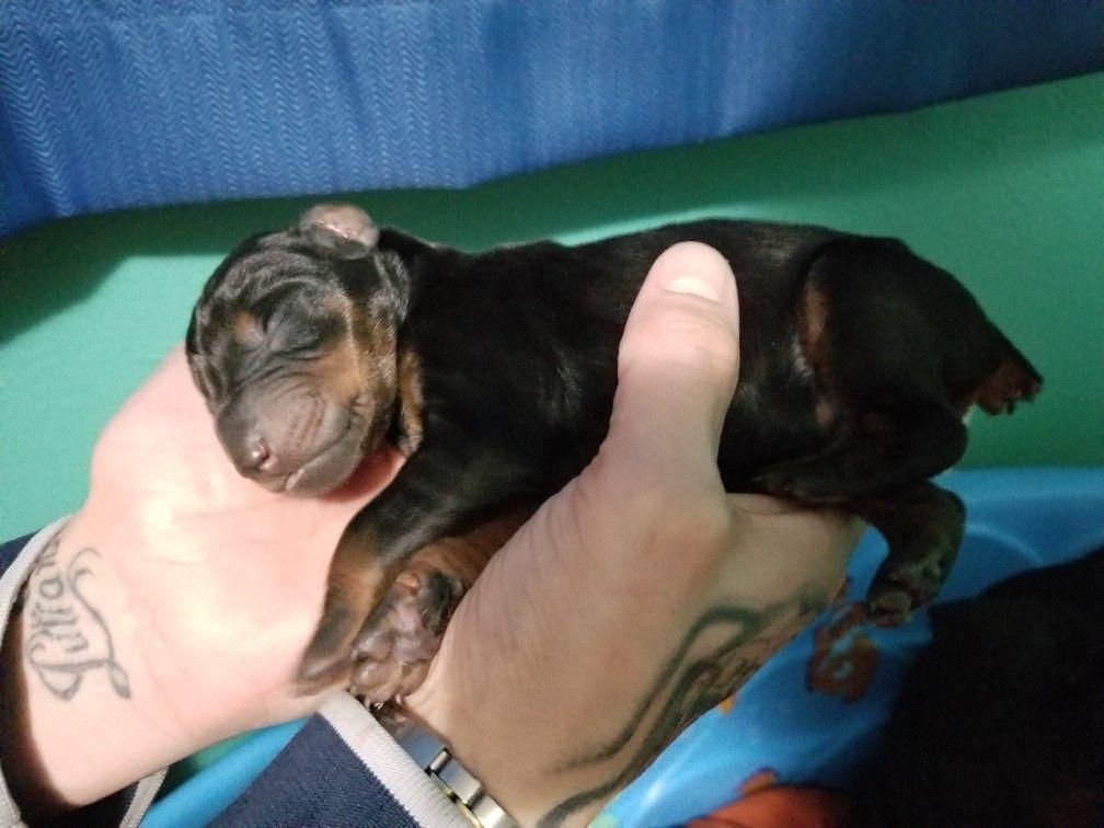 Doberman Puppy 3 Days Old Doberman Pinscher Puppy Doberman