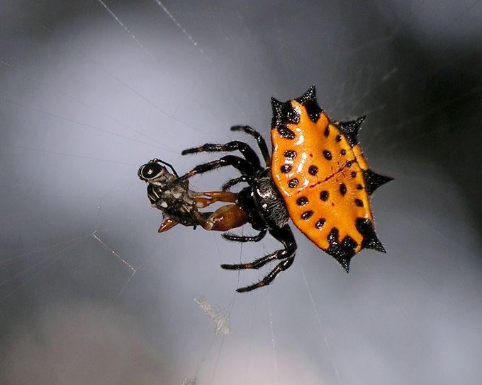 e50f210711f4a0668d75be36eb85dd12 - How To Get Rid Of Crab Spiders In Hawaii