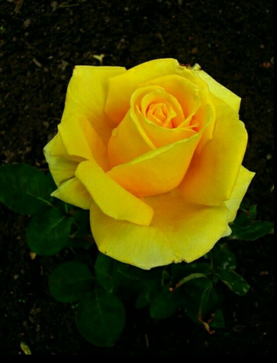 My Dads Favorite Flower Yellow Rose Flower Rose Flower Yellow Roses
