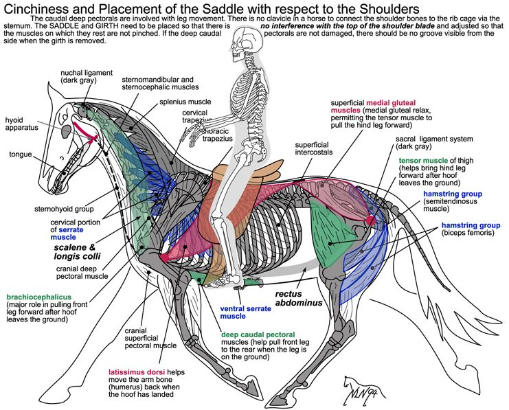 Cool diagram to see how placement of a saddle can affect a horse\'s ...