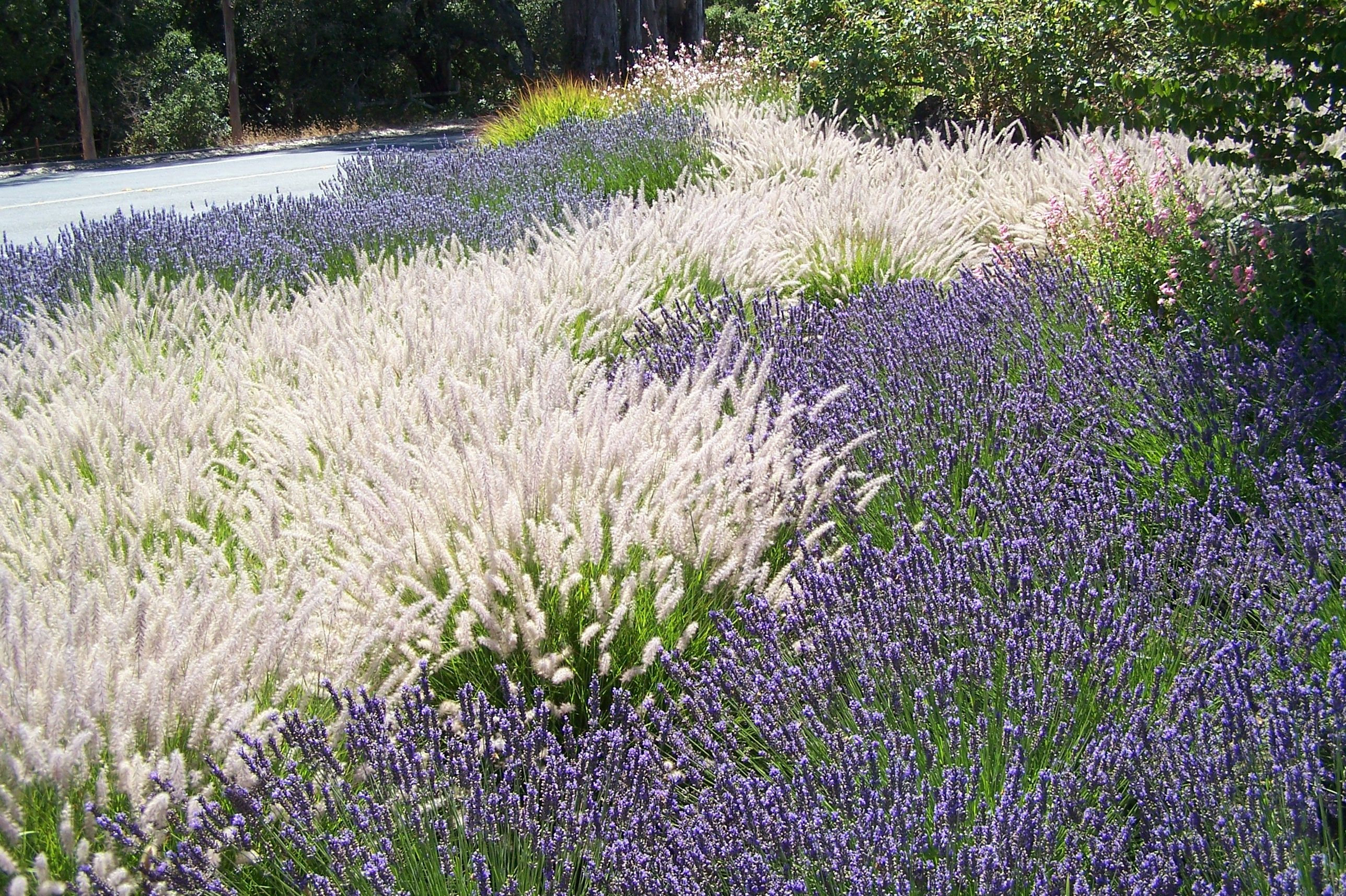Color and pattern using ornamental fountain grass and for Ornamental grasses for front yard
