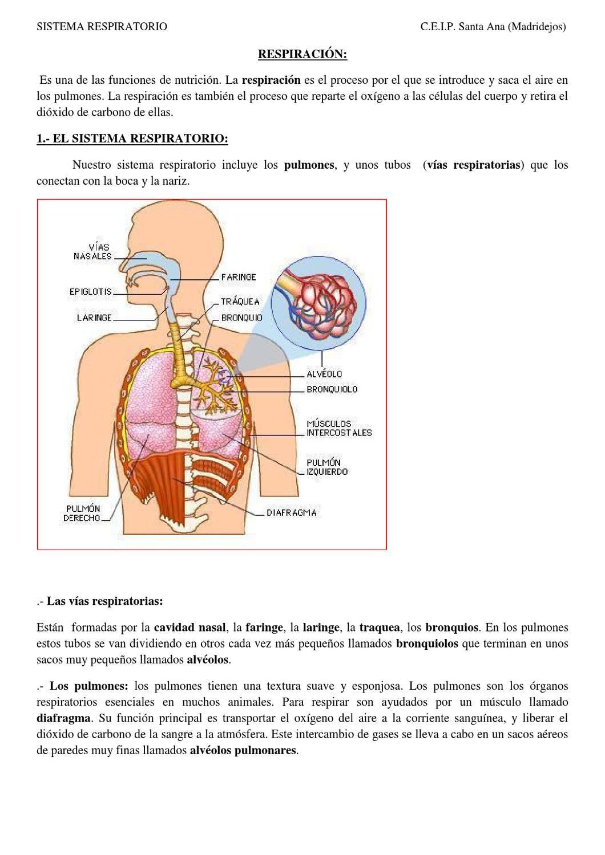 SISTEMA RESPIRATORIO. Español | Sistema respiratorio, Respiratorio y ...