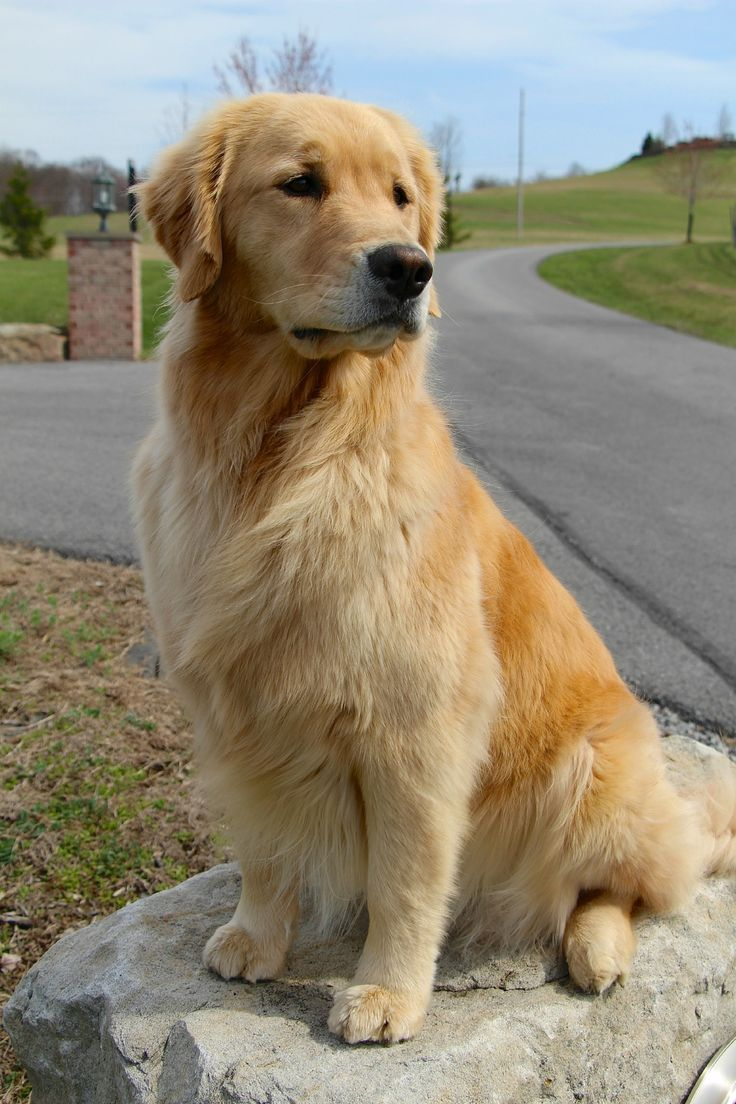 Golden Retriever Posing On A Rock With Images Golden Retriever