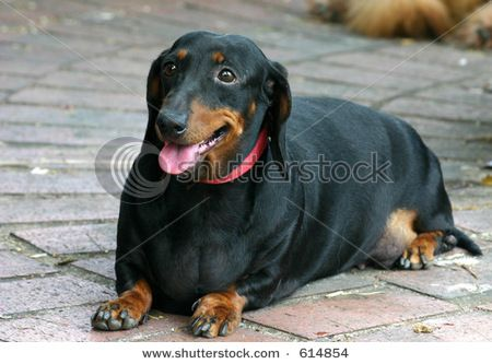 Nope I Don T Need A Diet At All Black Dachshund Dachshund
