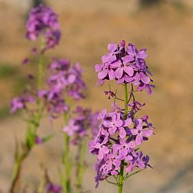 Sweet Rocket plant / flower - This Sweet Rocket smells particularly lovely in the evening. The nectar-rich flowers which arrive late spring to early summer produce food for caterpillars of different butterflies, including the orange tip and small cabbage white.