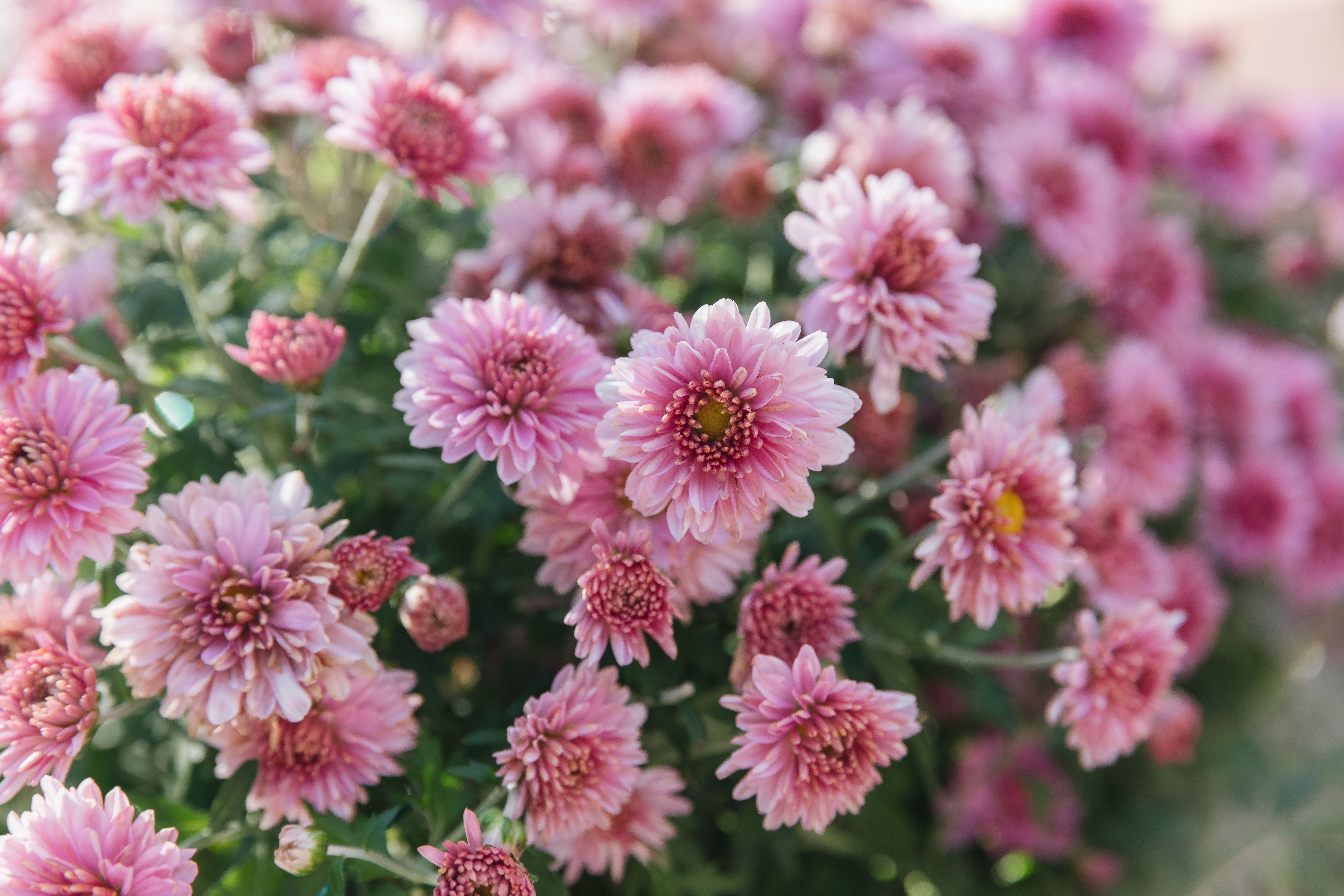How To Grow And Care For Hardy Chrysanthemums Garden Mums In 2020 Hardy Mums Garden Mum Flowers Perennials