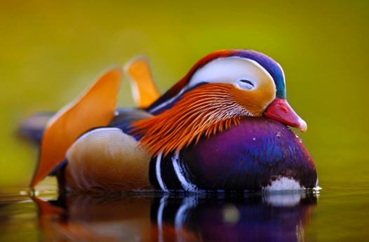 fantastic Mandarin duck