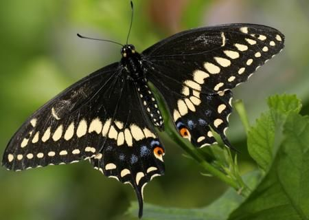 Get To Know the Symbolism and Meaning of a Black Butterfly