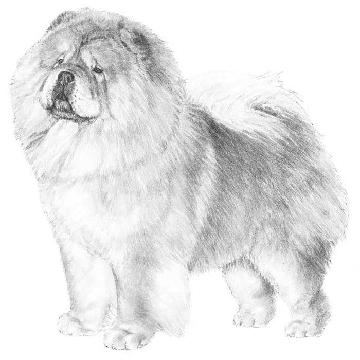 Chow Chow Dog Breed Information Chow Dog Breed Dog Breeds Chow