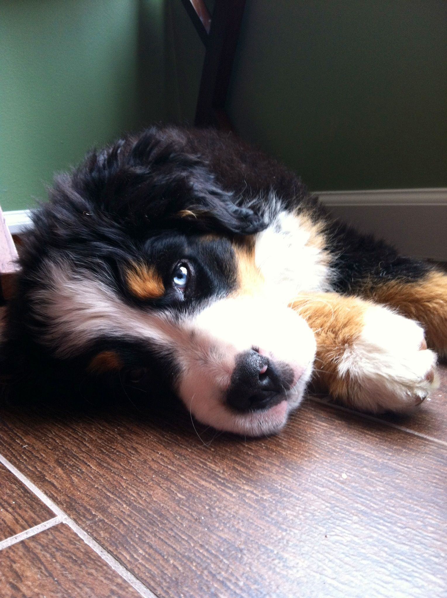 Bernese Mountain Dog Puppy Two Different Colored Eyes One