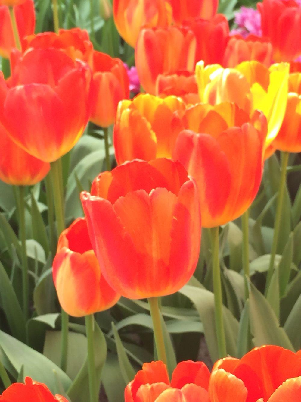 Red Tulips at sunny Keukenhof gardens, order flower bulbs