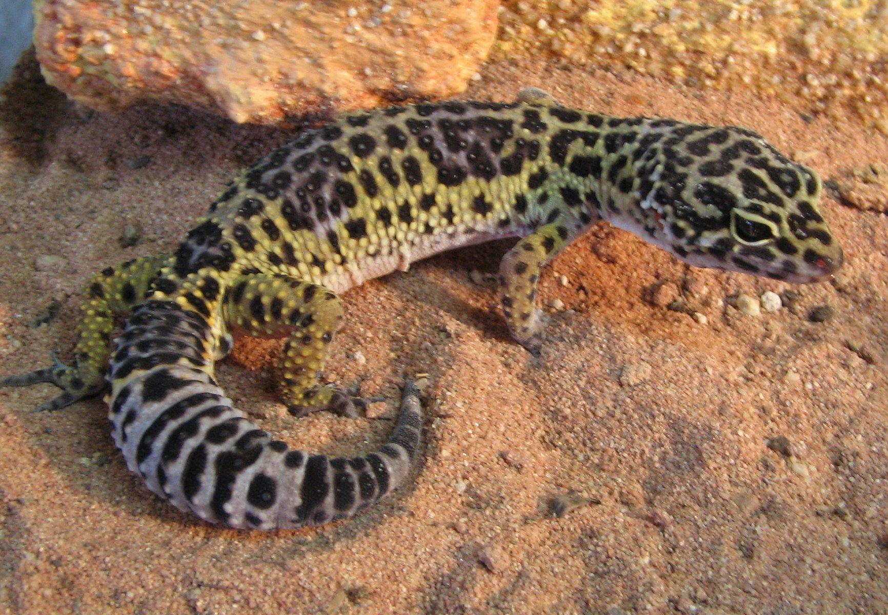 Gecko | El gecko leopardo o geco leopardo cuyo nombre científico es ...