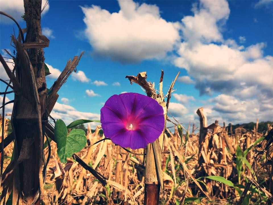 ITAP of a purple flower in a post-harvest cornfield http://ift.tt/2exrfiJ