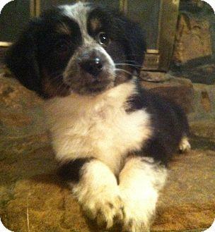 Warwick Ri Australian Shepherd Dachshund Mix Meet Betsy A