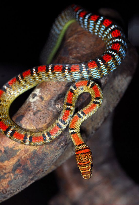 Flying Snake Serpente