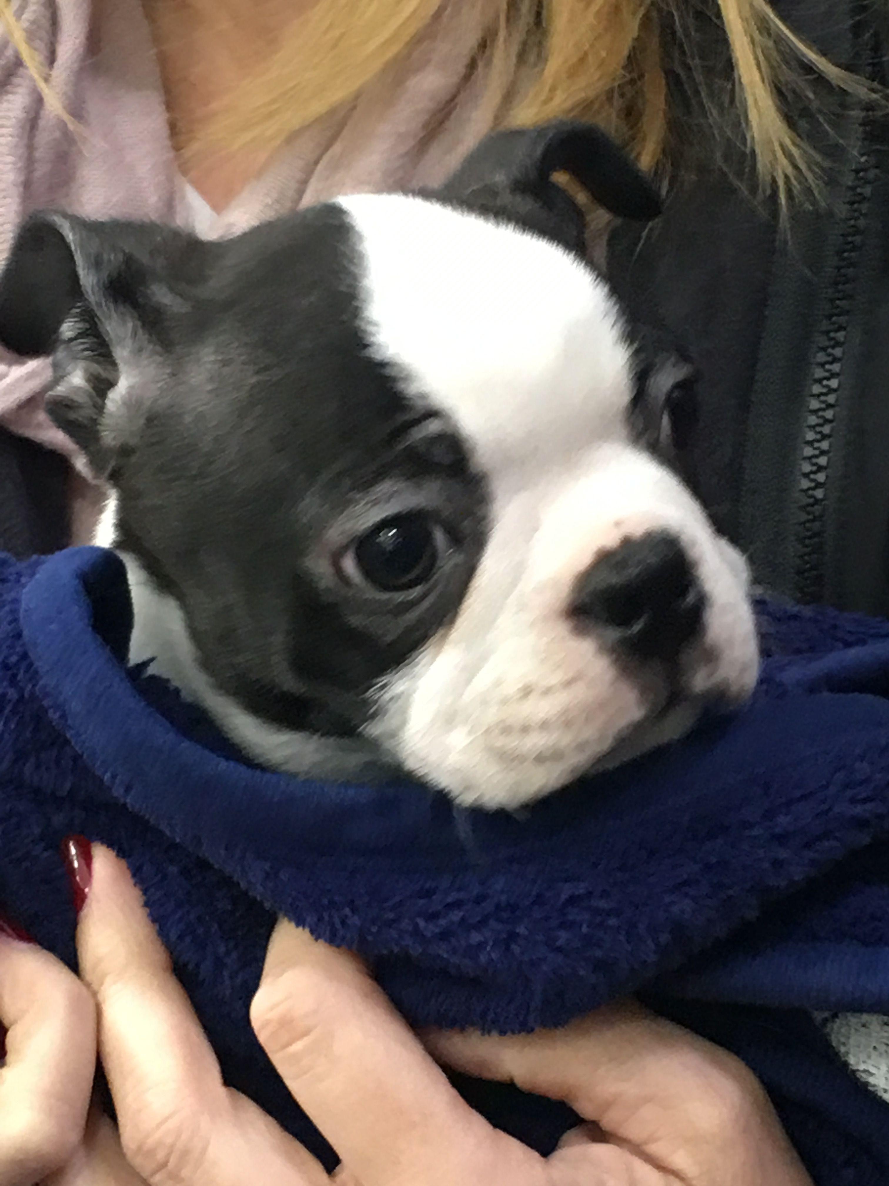 Bailey puppies boston terrier terrier