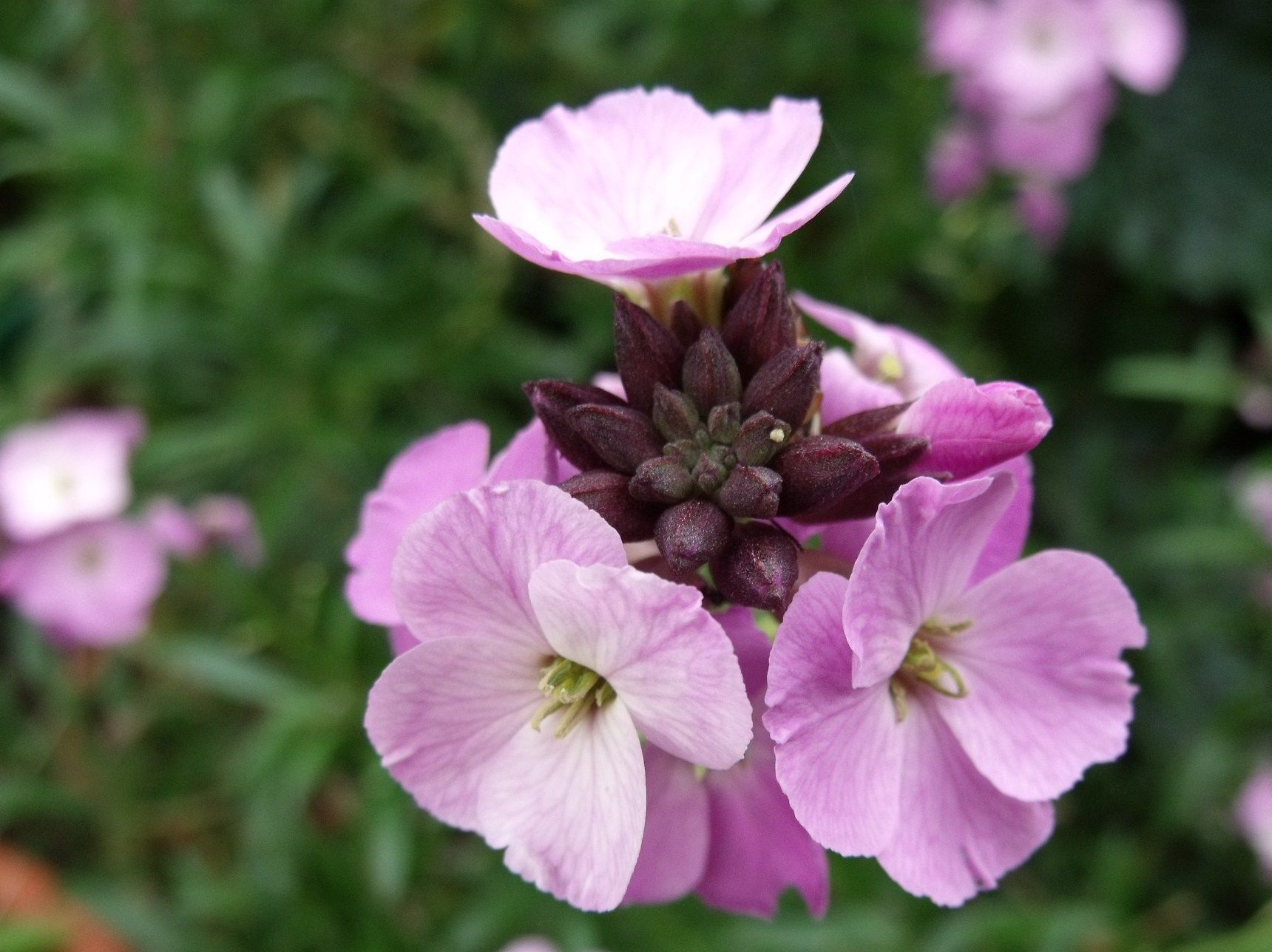 Wallflower Erysimum Lilac Joy In The Vege Garden To Bring In The Bees Flowers Through Winter Spring And A Lovely Fragrance Flowers Garden Winter Springs