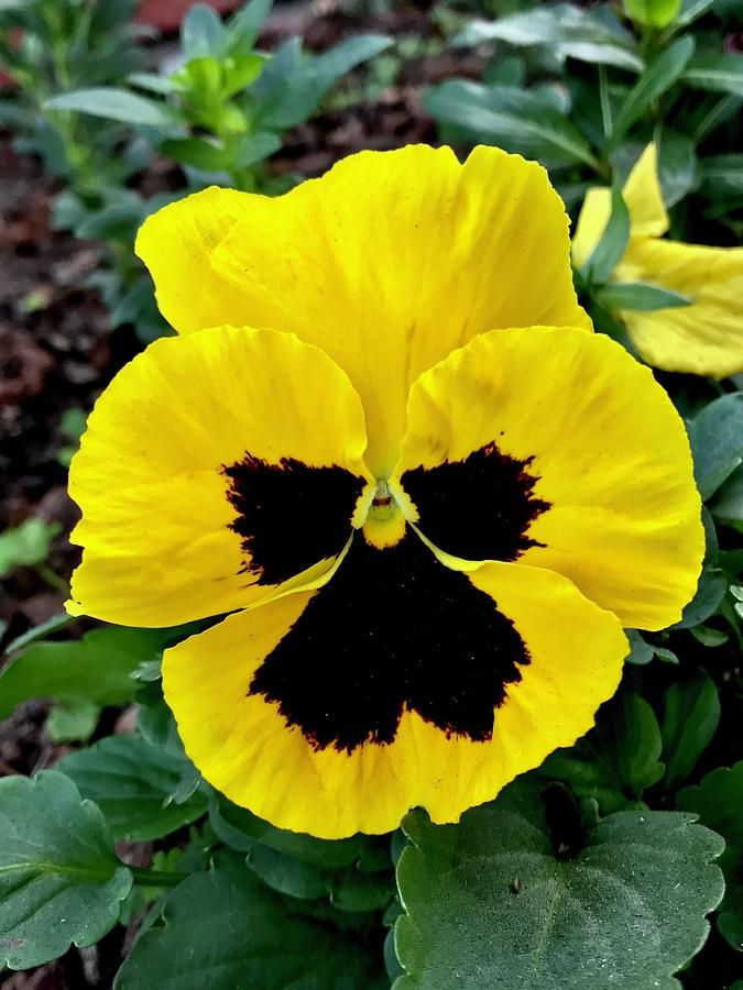 Yellow Black Pansy Flower 001 By Sofia Metal Queen In 2020 Pansies Flowers Pansies Flowers Photography