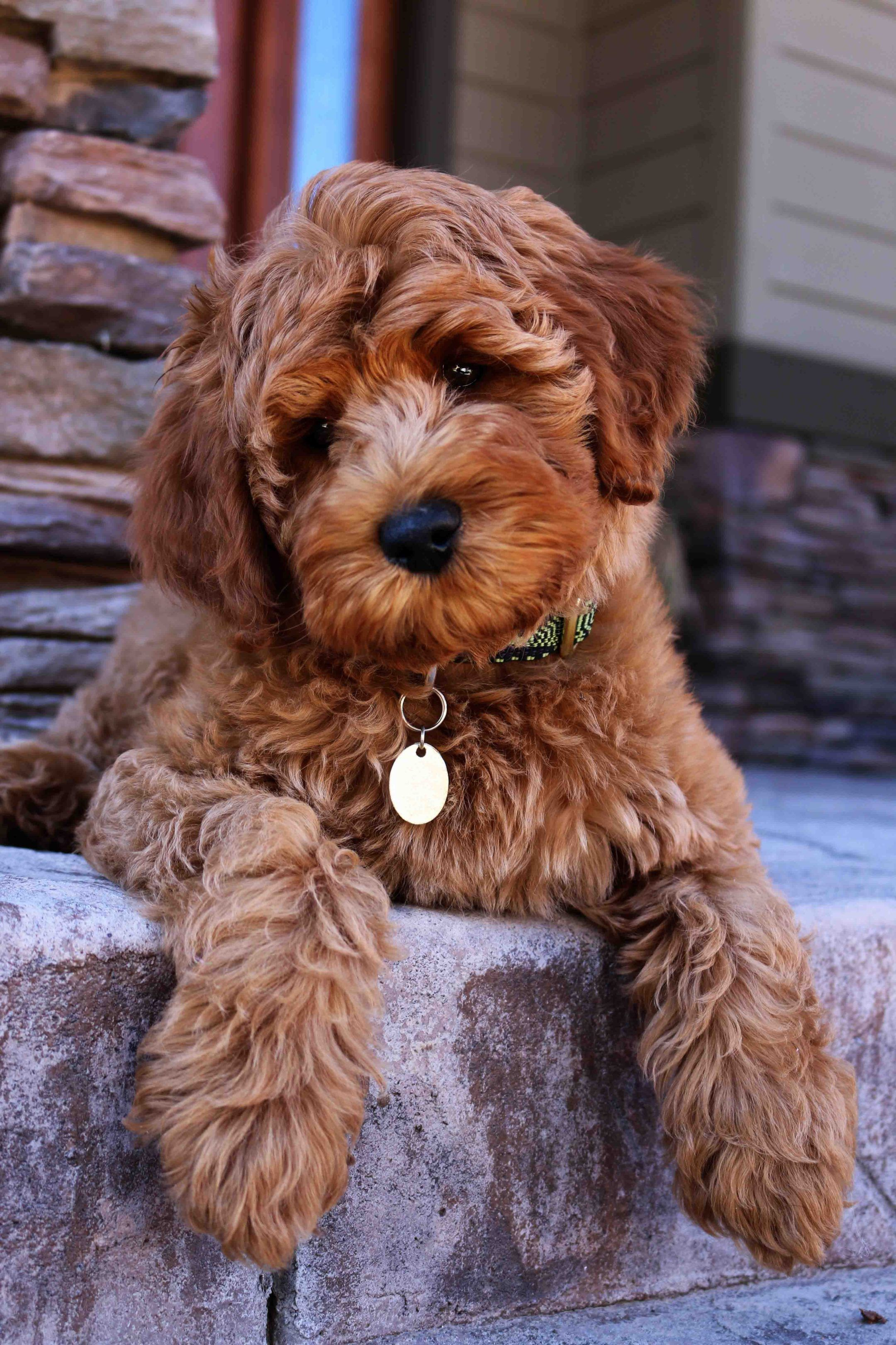 Pin By Alexis Morrison On Fluffs In 2020 Labradoodle Puppy Puppy Adoption Mini Goldendoodle Puppies