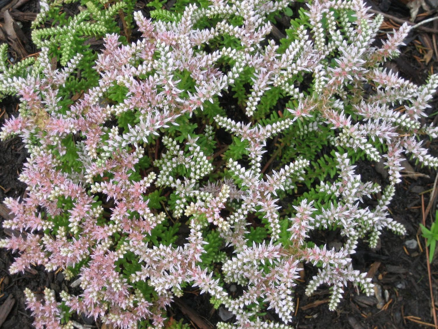 Sedum Seastar Seeds Succulent Stonecrop Perennial Groundcover Ground Cover Seeds Ground Cover Sedum