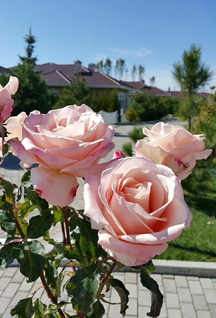 Pin de elizabeth moreno en Rosas Pinterest Rosas Flores y Flor