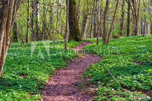 Nature Trail In The Woodlands With Flowerings Wood Anemones Ad Paid Woodlands Trail Nature Anemones Wood In 2020 Nature Trail Woodlands Wood Anemone