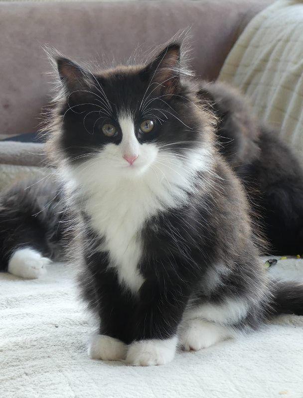 Omg It S Leia As A Kitten Norwegian Forest Cat Cats