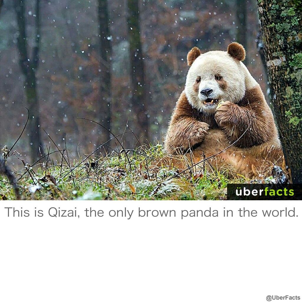 Qizai Only Brown Panda In The World