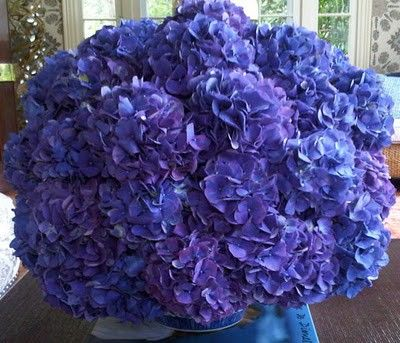 hydrangea perfection