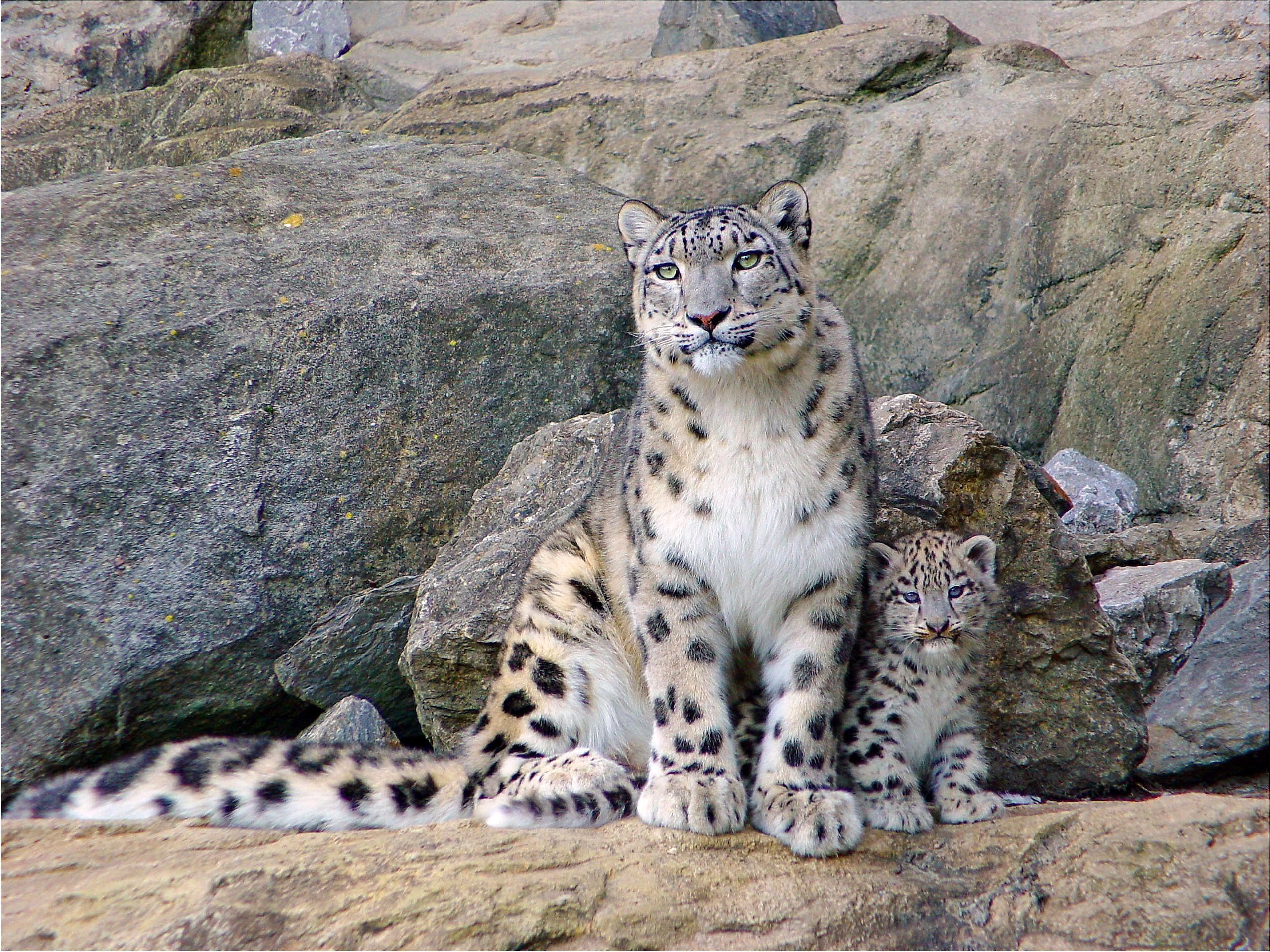 Snow Leopard With Cub Animal HD Desktop Wallpaper