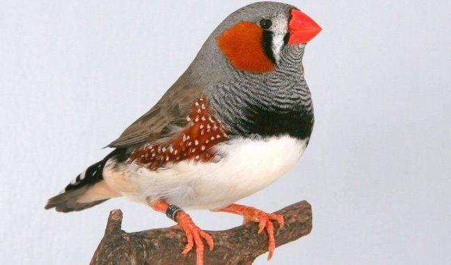 Diamante mandarín. | Birds | Pinterest | Diamante mandarín ...