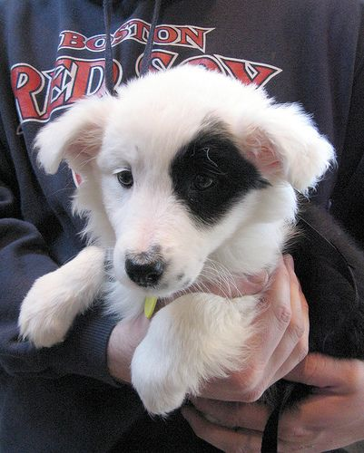4621adorablelittlegirlbordercolliemixpuppy This Adorable Little