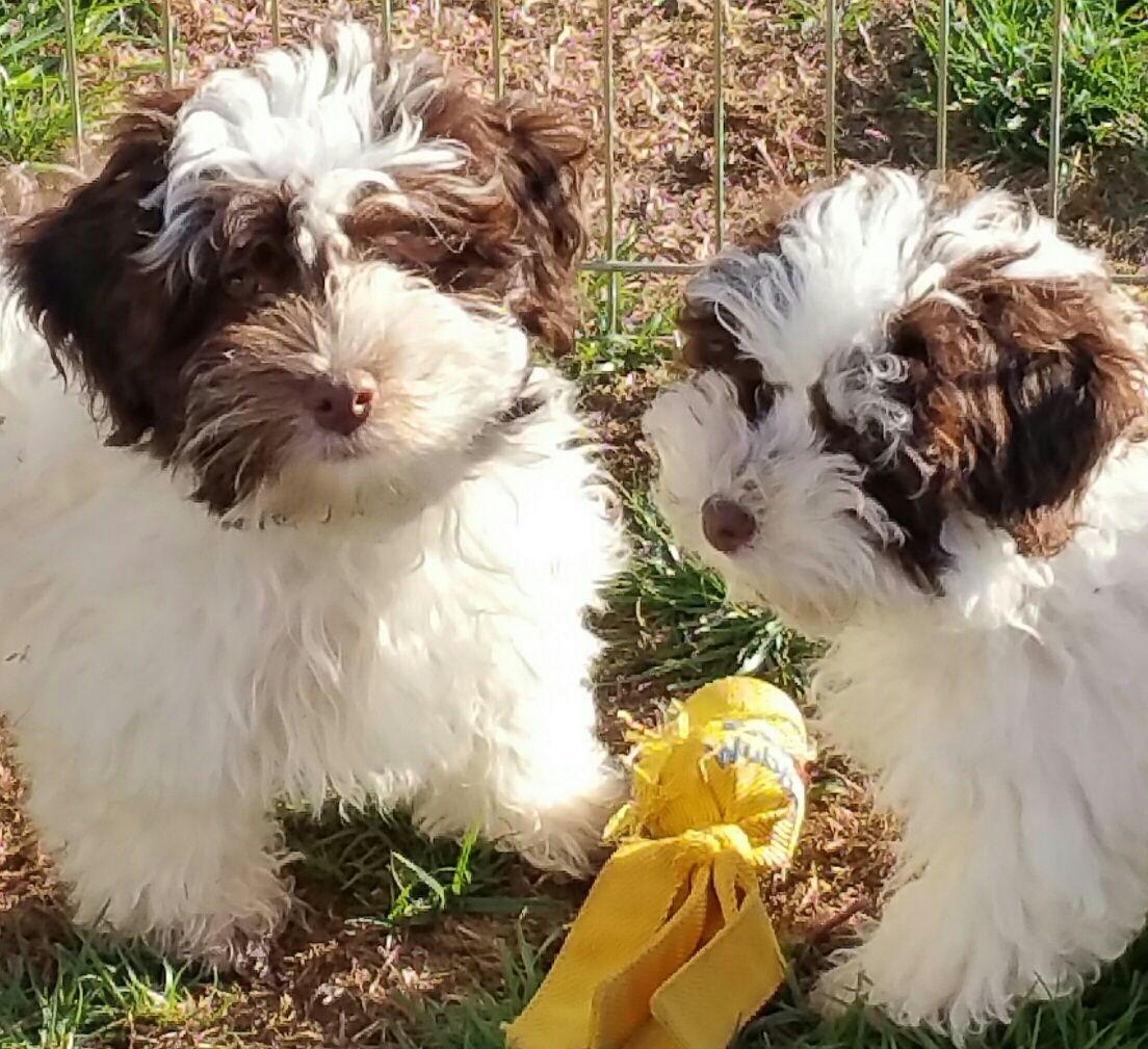 Chocolate havanese havanese puppies havanese havanese dogs