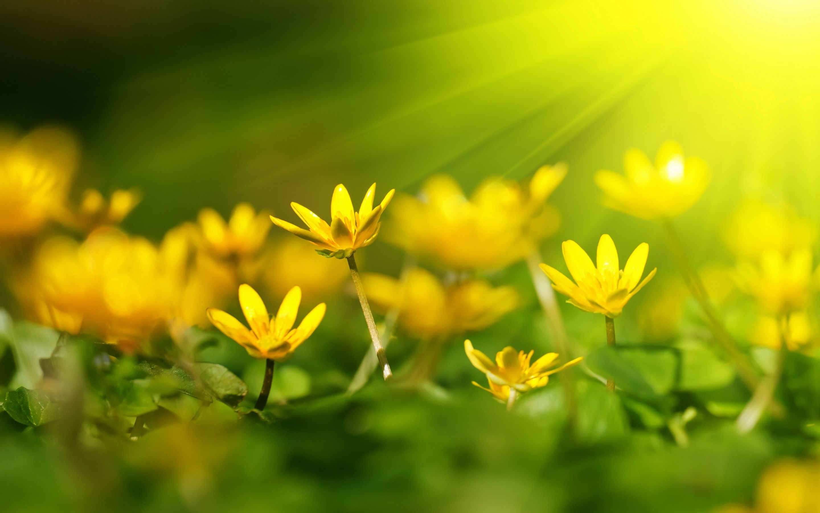 Yellow Flowers Sunshine Wallpapers Pictures Fleurs Pinterest
