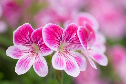 The different types of pelargonium