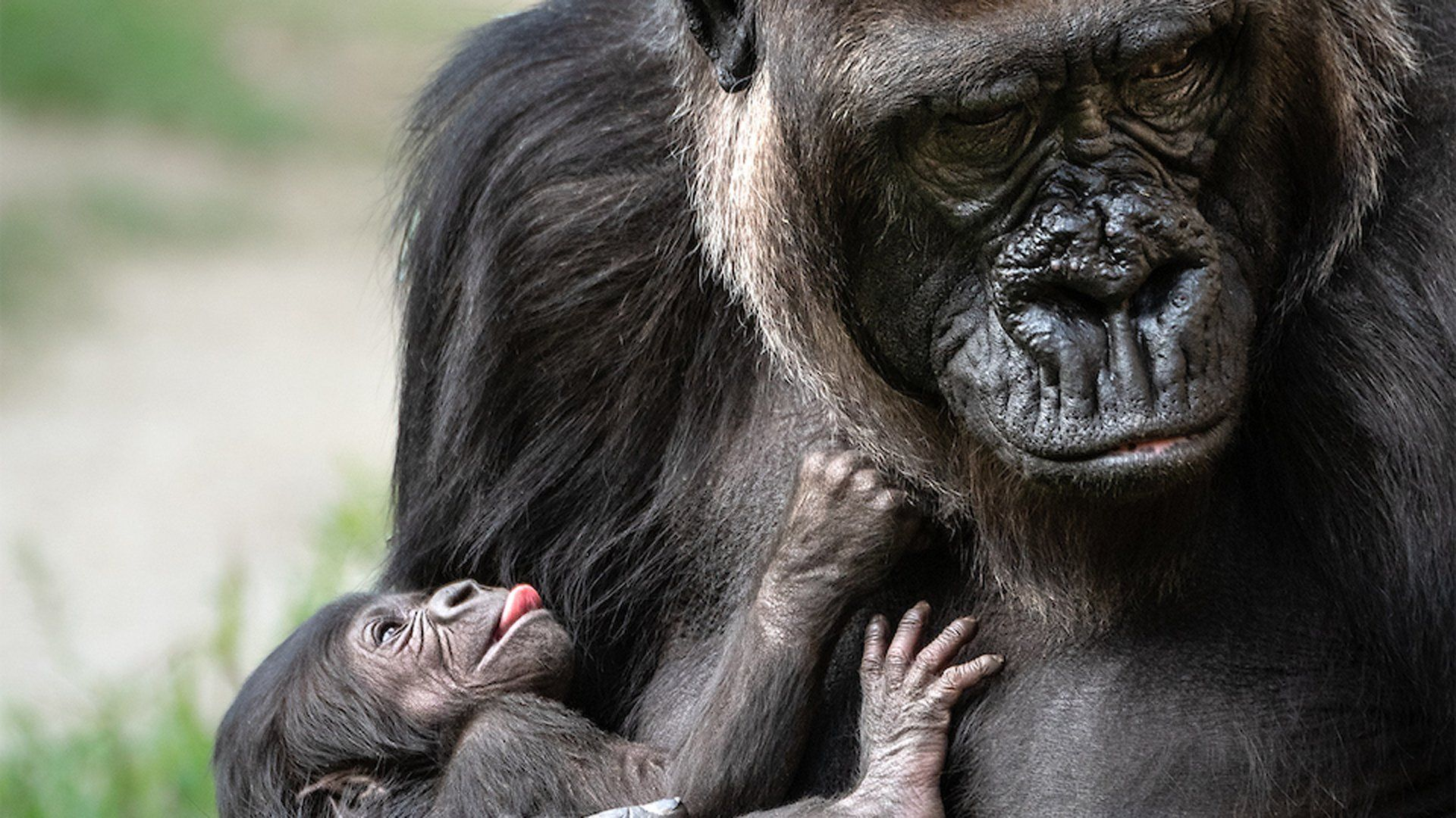 It S A Girl She S The First Gorilla Born In La Zoo In 20 Years In 2020 Baby Gorillas Gorilla Los Angeles Zoo