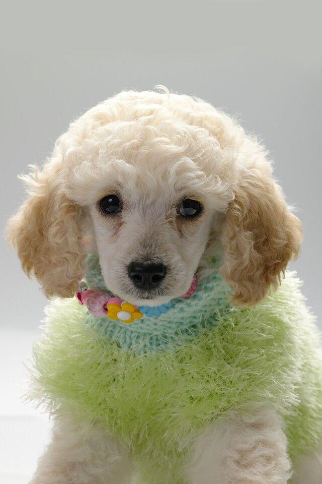 Standard Poodles Dogs Puppy Poodle Puppy Standard Poodle