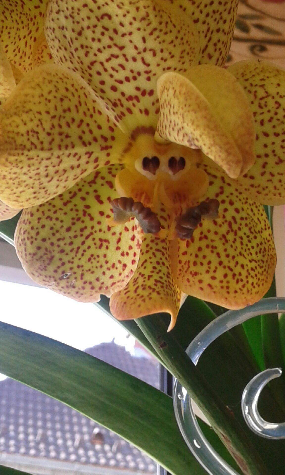 Vanda Orchideen Orkideler