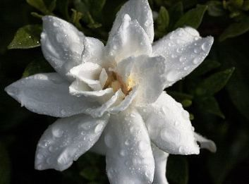 How To Grow Gardenia In Ga Love The Smell Of These Gardenia Plant Flowers Perennials Gardenia Perfume