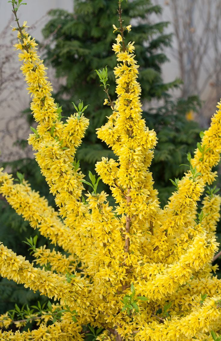 Show Off Forsythia X Intermedia Bonito Pinterest Cut