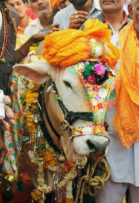 18+ Why is the cow sacred in indian culture ideas