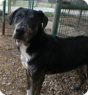 Pilot Point, TX - Labrador Retriever Mix. Meet VALEN, a dog for adoption. http://www.adoptapet.com/pet/12382919-pilot-point-texas-labrador-retriever-mix