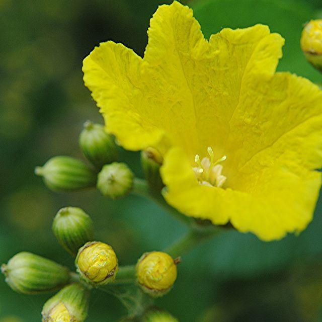 Crinkly yellow flower is still unfurling in the bright sunlight crinkly yellow flower is still unfurling in the bright sunlight mightylinksfo