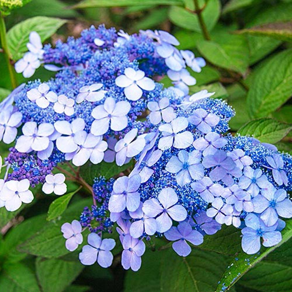Spring Hill Nurseries 4 In Pot Teller S Blue Hydrangea Live Deciduous Plant Blue Lacecap Flowering Shrubs 1 Pack Spring Hill Nursery Blue Flowering Shrubs Hydrangea Not Blooming