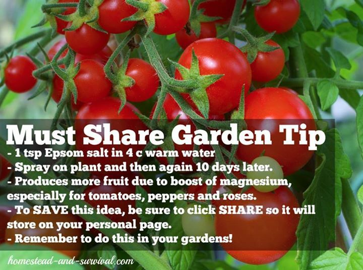 1 Tsp Epsom Salt In 4 Cups Warm Water Spray On Plant Then Again 10 Days Later Produces More Growing Tomatoes In Containers Gardening Tips Tomato Garden