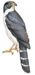 Slaty-backed Forest-falcon (Micrastur mirandollei)