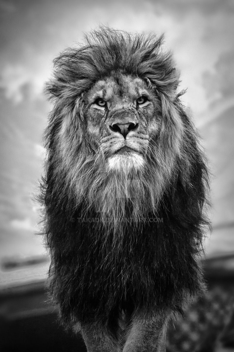 50 shades of grey by takadk black and white lion lion