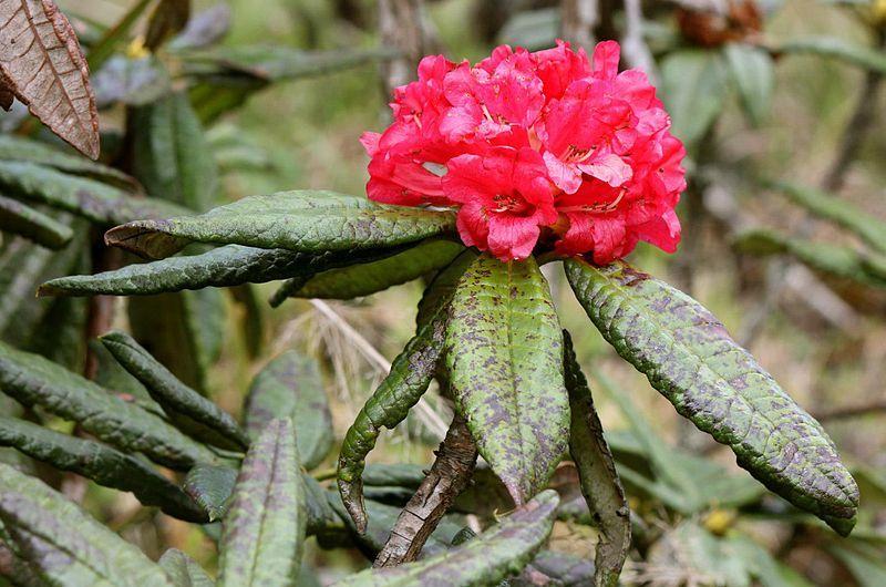 Maha rath mala (Rhododendron arboreum ssp. zeylanicum) is